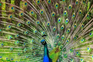 peacock-188328_1280